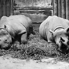 Captive rhino pair by borstal