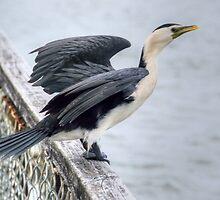 I spread my wings........Pied Shag...........! by Roy  Massicks
