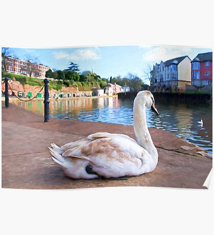 Young Adult Swan - Impressions Poster