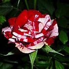 My New Rose by WildestArt