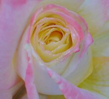 Beautiful Pink Rose Closeup  by taiche