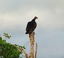 Turkey Vulture by Robert Abraham