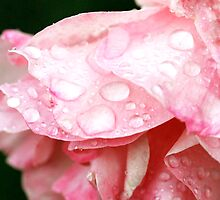 Wet Rose by pwrighteous