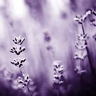 lavender dreams by Shilpa Shenoy