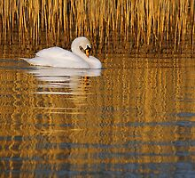 GOLDEN SWAN by mc27