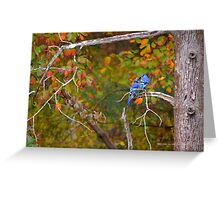 Cyanocitta Cristata - North American Blue Jay Couple Feeding Each Other | Middle Island, New York Greeting Card