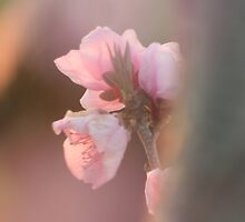 Peach Blossom by Redneck