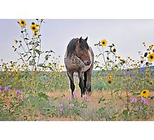 Roan Foal in Sunflowers Photographic Print