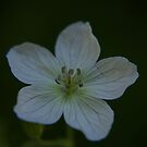 Wild White Geranium by Daniel Doyle