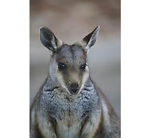 whistful wallaby Photographic Print