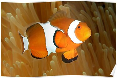 Western Clown Anemonefish by MattTworkowski