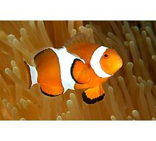 Western Clown Anemonefish Photographic Print