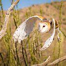 Barn Owl in Flight by Robert Kelch, M.D.