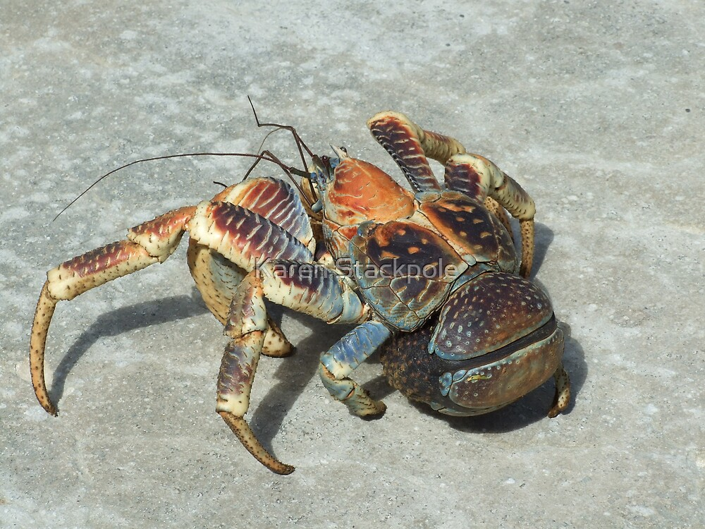 Robber Crab - Christmas Island by Karen Stackpole