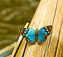 blue butterfly by Andrea Rapisarda