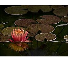 Water lily lights up dark pond Photographic Print
