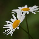 Daisy Days by Pamela Jayne Smith