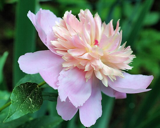 Splendiferous Peony Flower by SmilinEyes