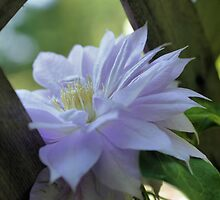 Nestled Clematis by SmilinEyes
