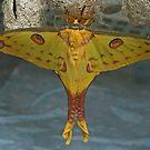 Comet Moth by Robert Abraham