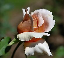 Peach Rosebud by SmilinEyes