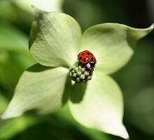 Ladybug On Dogwood Flower by SmilinEyes