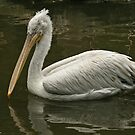 Dalmation Pelican by Robert Abraham