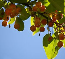 Crabapples by rdshaw