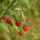 Bitter Sweet Berries by Robert Abraham