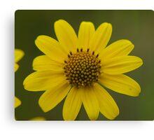 Dwarf Sunflower Canvas Print