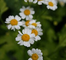 Tiny  Flowers by Tanya Kenworthy-Mosher
