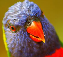 Lorikeet Hello by NickPhilippa