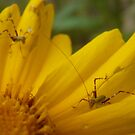 Grasshoppers by peterstreet