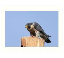 Peregrine Falcon #1 Art Print