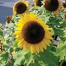 Sunflower Girasol Photo by Silvia Neto