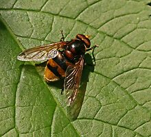 Hoverfly - Volucella zonaria by Robert Abraham