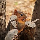Snacking Squirrel by Richard G Witham