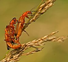 Soldier Beetles by Robert Abraham