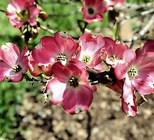 Pink Dogwood by SmilinEyes