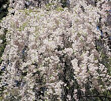 Cascade Of Blossoms by SmilinEyes