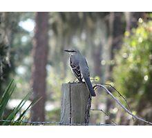 Mocking bird on a fence post Photographic Print