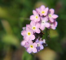 pink Forgetmenot by Paul Revans