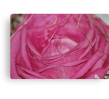 Old pink rose Canvas Print