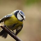 Blue Tit in slight motion (2) by Taka