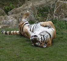 Tiger On The Grass by Richard Durrant