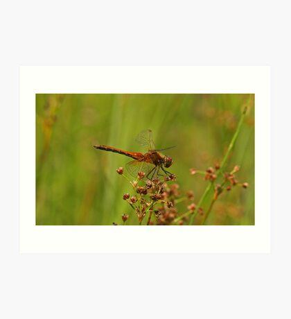 Yellow-Winged Darter Dragonfly Art Print