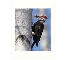 Male Pileated Woodpecker - Ottawa, Ontario Art Print