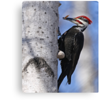 Male Pileated Woodpecker - Ottawa, Ontario Canvas Print