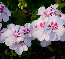 White and Pink Geraniums, Flowers in the Garden by ashleykung