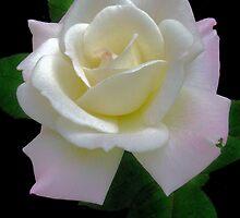 Alfreda's Rose by Nancy Polanski